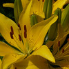 Yellow ornamental lily