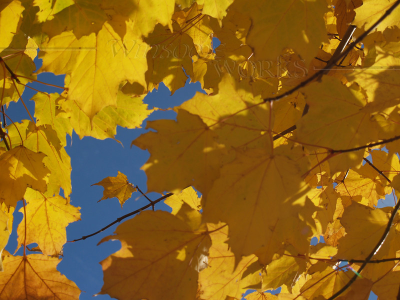 Maple leaves, Center Valley, PA