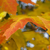 Maple leaves turning golden in Autumn - Springtown, PA