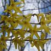Forsythia,yellow