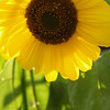 Sunflower in our Garden; Quakertown, PA