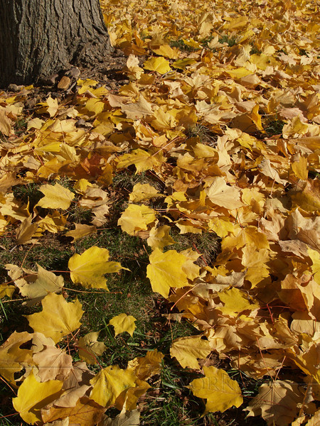 Fallen maple leaves, Center Valley, PA