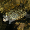 Diamondback terrapin (Malaclemys terrapin) in nature center at Hunting Island S.P.