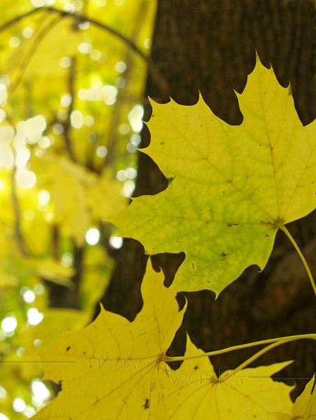 sugar maple, yellow with autumn color ( Acer Saccharum )