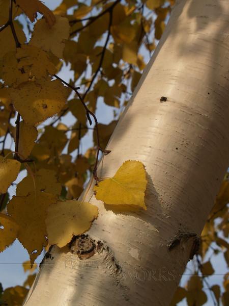 Paper Birch leaves in October