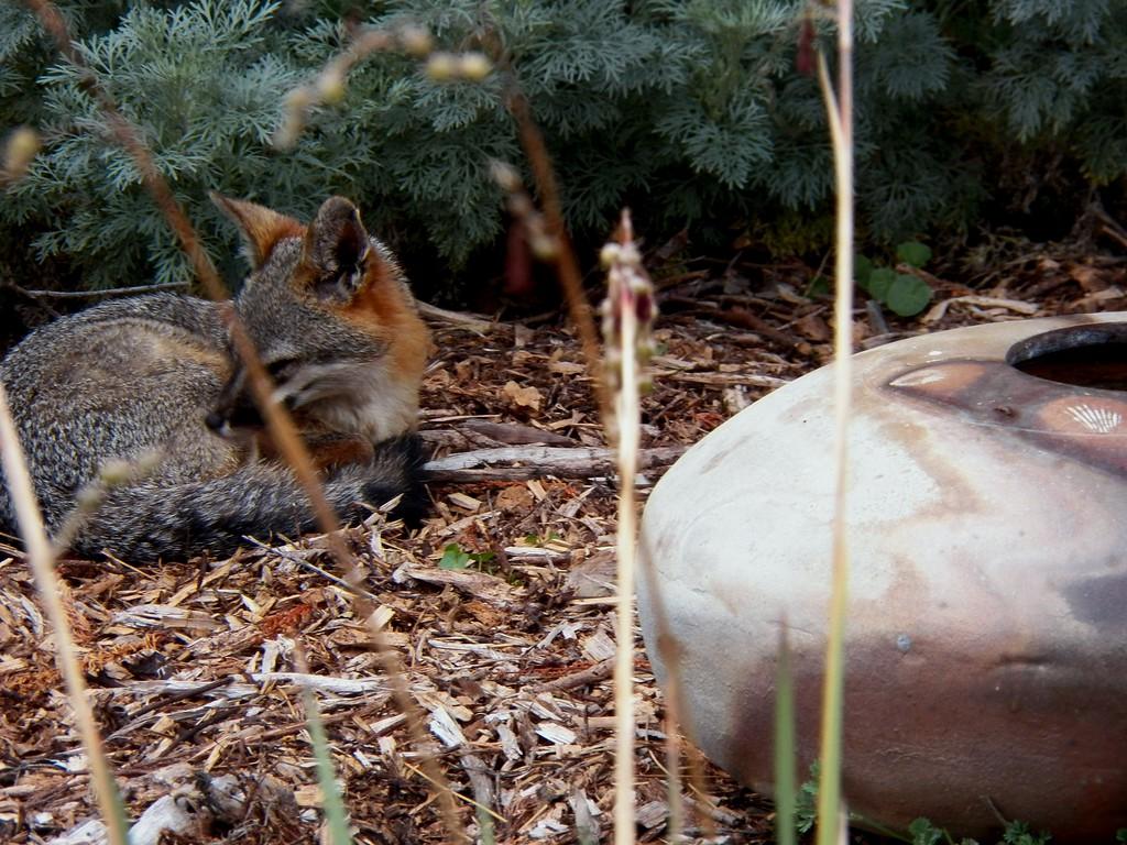 Fox's water bowl, bird's bath, expensive taste!