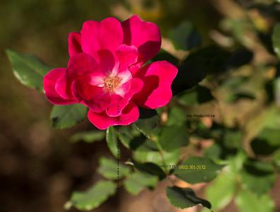 Pink flower 3258