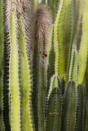 Cactus & red bud 3159