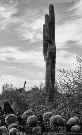 Do you like the color or B&W better? Barrel Cactus 'pumpkins' 3161 B&W