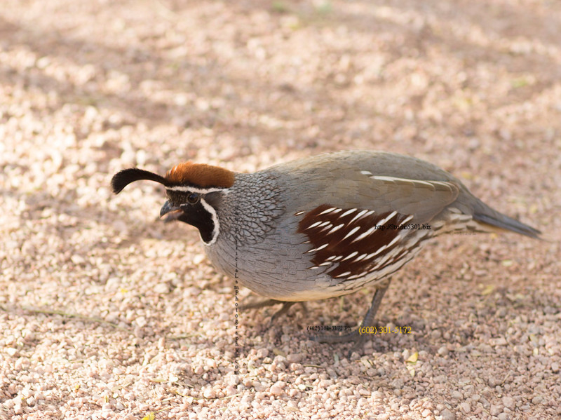 AZ bird male 3348