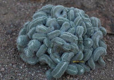Mammillaria cactus 1213 3435