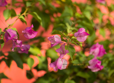 Bougainvilla on peach wall 3270