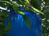 Cobalt blue bowl or urn or vase.<br /> <br /> Dale Chihuly, artist.<br /> <br /> Conservatory, Frederik Meijer Gardens and Sculpture Park,<br /> Grand Rapids, Michigan.<br /> October 7, 2010.