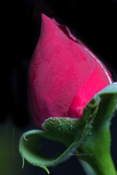 red rose bud 1-2 in2x Ext 3241