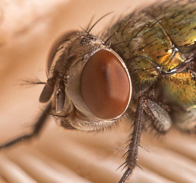 fly eye_close3062c  12in 200dpi cf DEx