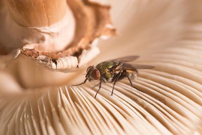 Fly Mushroom_3062