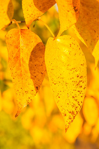 Faded Yellow