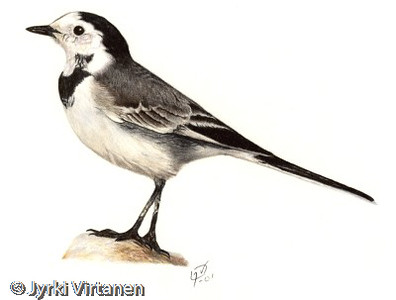 Pied Wagtail (2001)