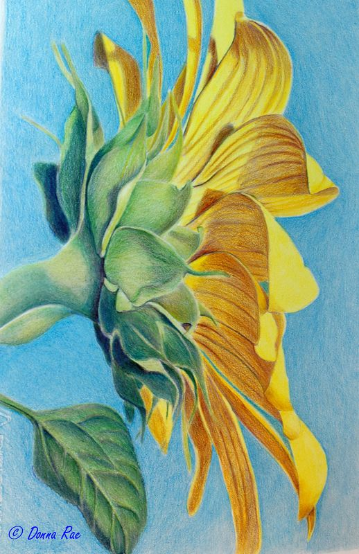 Sunflower Dancer 11 x 15 Colored Pencil