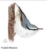 European Nuthatch (2002)