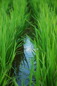 oki islands rice grass