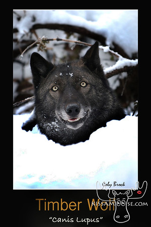 wolf, timber wolf, wolves, wolf photo, black wolf,
