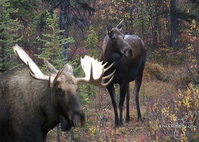Collage, Alaskan Animals, Alaskan, Animals, Animal Collage, seal, harbor seal, bear, moose, , ALASKA