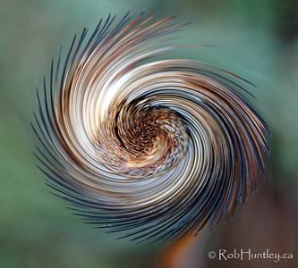 Seedhead pinwheel. A couple of simple photoshop manipulations and poor photo of a seed head becomes a colourful pinwheel. I applied the distort>twirl tool and then increased the saturation significantly.  The original is in the next frame.  © Rob Huntley
