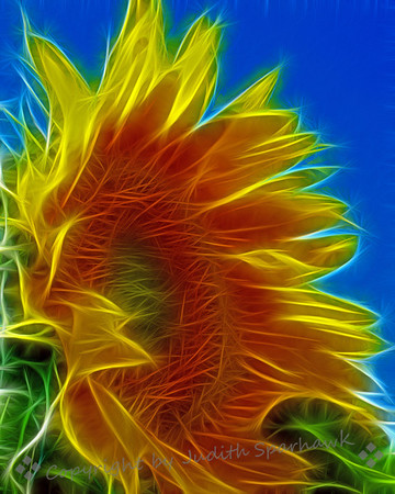 The Big Sunflower ~ Filtering application on the large sunflower I photographed this summer in Redlands.