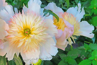 Anchorage Peonies
