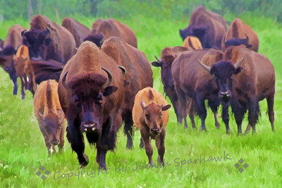 Bison Face Off