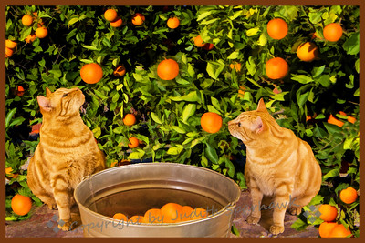 Orange Cats in the Orange Grove