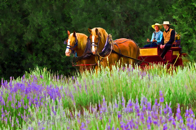 Riding in Lavender