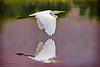 Great Egret Reflections II