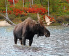 Bull Moose Maine autumn