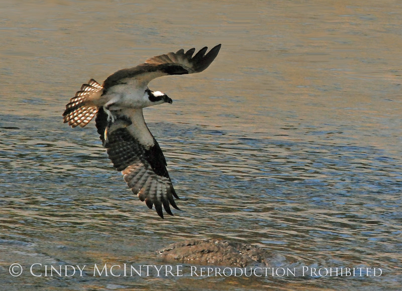 Osprey Catching Alewife 10x14 DB copy