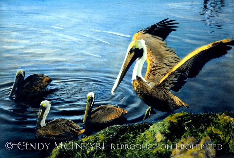 Pelicans - brown pelicans