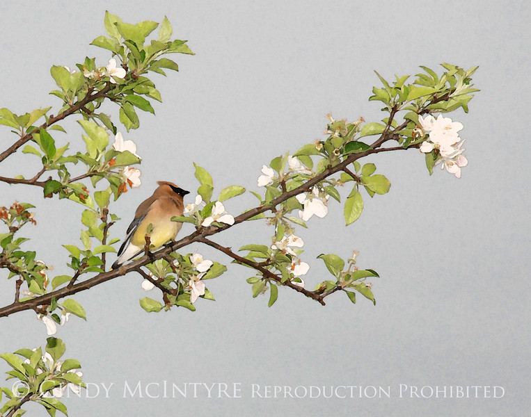 Cedar Waxwing on Apple tree copy