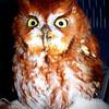 Rehab Owl