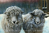 Ewe and Me - Corriedale-Romney sheep in Maine winter