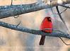 Sir Cardinal 10x14 copy