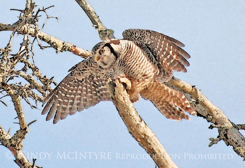 Hawk Owl Flying WC 5x7 copy