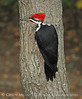 Pileated Woodpecker on Tree 8x10 copy