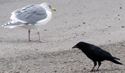 Crow Madness