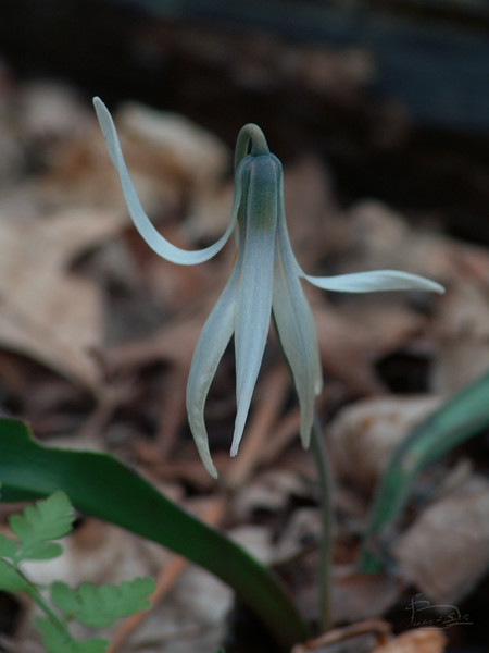 Wood lilly