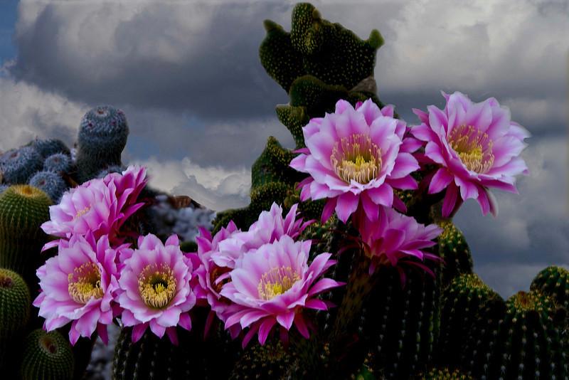 mountain cactus