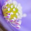 Blåveis (2011) Hepatica nobilis