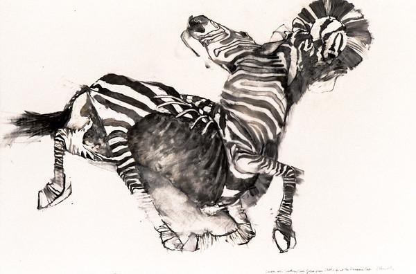 Southern Cape Zebra - Study III