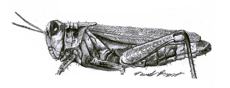 Grassshopper