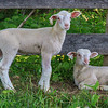 Spring lambs at Aullwood.